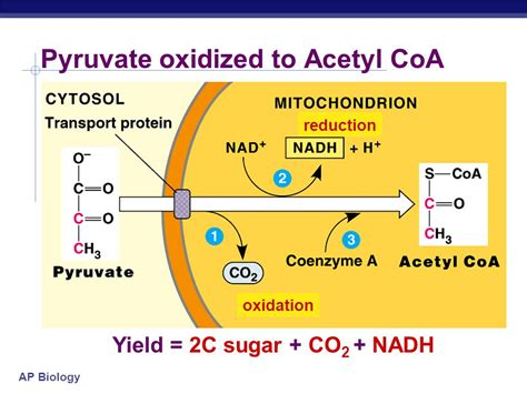 pyruvate oxidation diagram energy atp the point is to make atp ppt