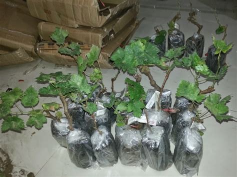 Bibit Anggur Pohon cara budidaya anggur di halaman rumah