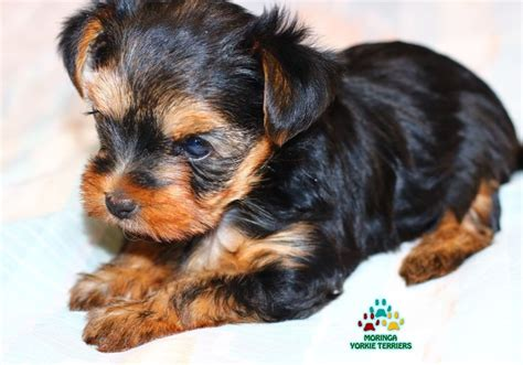 yorkie puppies for sale inland empire 25 best ideas about yorkie puppies on yorkie puppies and