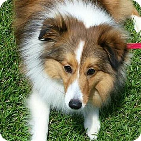 puppies for adoption in sc mt pleasant sc sheltie shetland sheepdog meet andy a for adoption