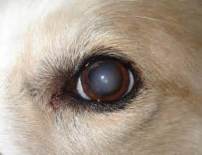eye problems that cause blindness s health archives doggie business