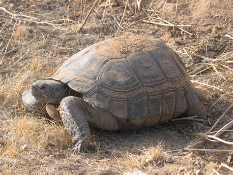 Tortoise L by Cliven Bundy S Shell Why It Matters To The Tortoise