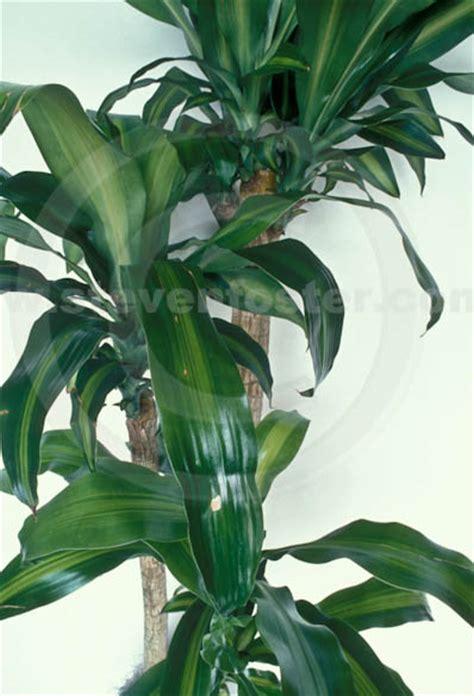 images of plants stock images of dracena fragrans massangeana corn plant