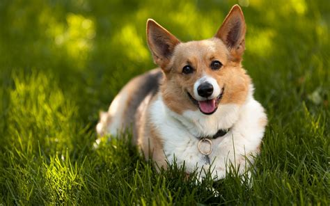 corgie puppies corgi puppy widescreen wallpaper wallpaper wallpaperlepi