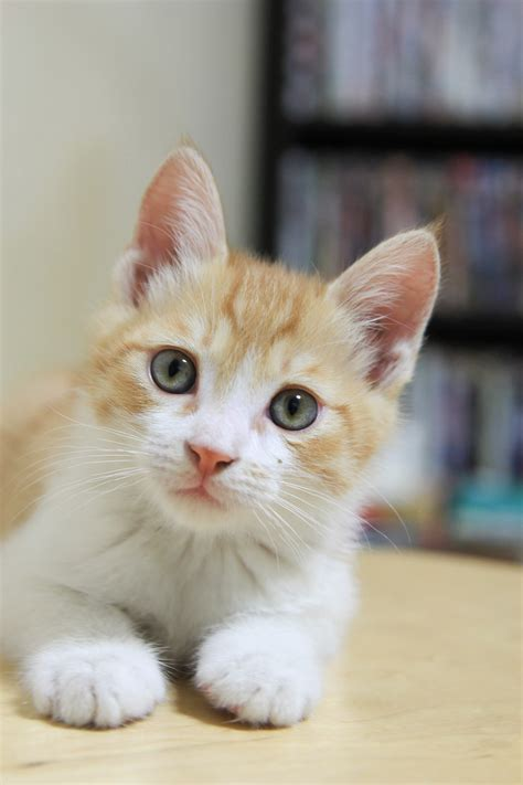 cat nose whiskers free images kitten nose whiskers vertebrate baby