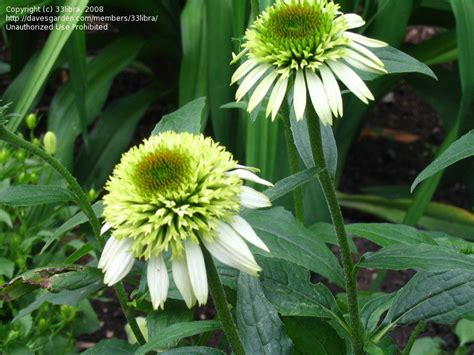 plantfiles pictures echinacea double coneflower coconut lime echinacea purpurea by ngam