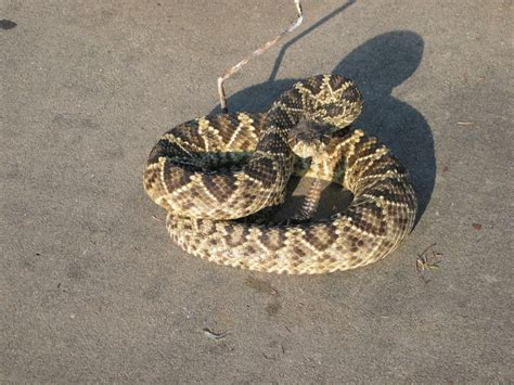 bit by rattlesnake bitten by rattlesnake at walmart store in washington