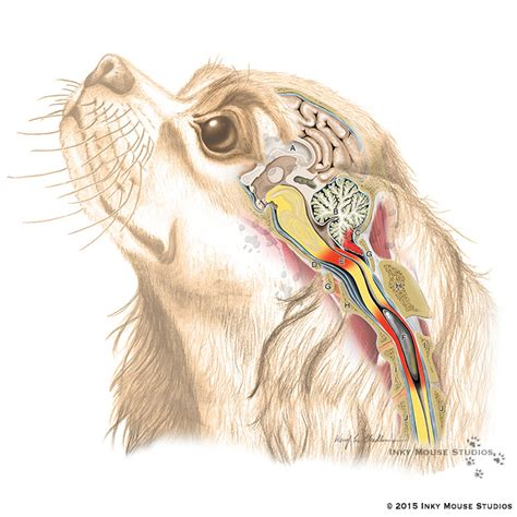 syringomyelia in dogs canine syringomyelia in cavalier king charles spaniel