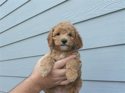 cost of labradoodle puppy small labradoodle puppy hi res 720p hd