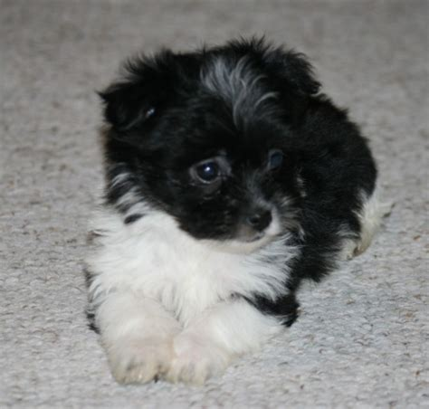 havanese or shih tzu havanese and shih tzu mix puppies www imgkid the image kid has it