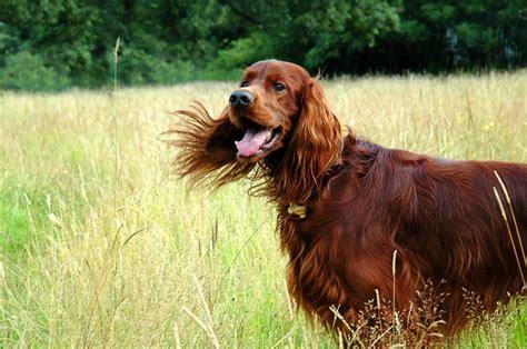 red setter dog breed ірландський червоний сетер irish red setter