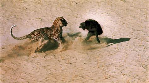 Hunters Appointed To Kill Leopards Gestelltes Bild Die Wahrheit 252 Ber Dieses Ber 252 Hmte