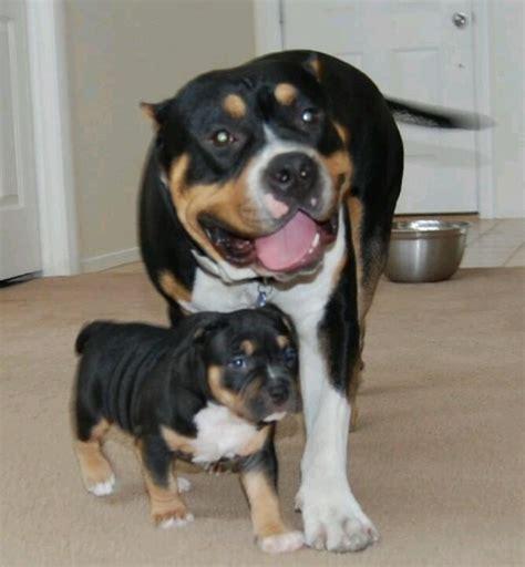 tri color pitbull puppies tri color pit bull pictures pit bulls