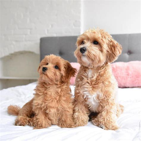 cani da appartamento di piccola taglia cani piccola taglia le 36 razze di cani piccoli perfette