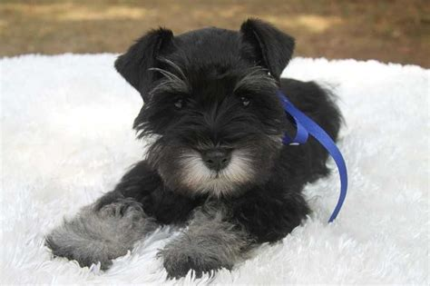 puppies for sale oklahoma 17 best images about schnauzers on d abo toys and minis