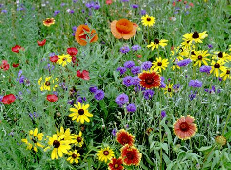 the flowers wild dream houses from movies partial shade wildflower mix