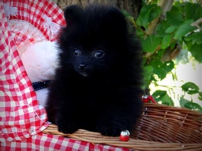 what causes seizures in pomeranians hypoglycemia