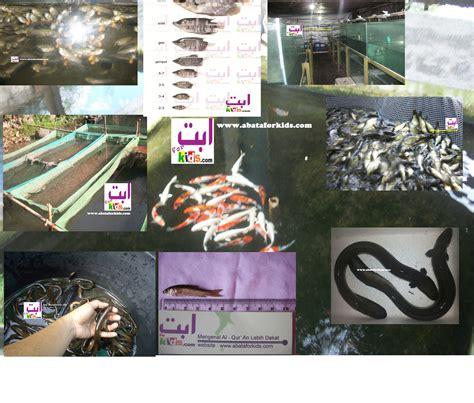 Jual Bibit Bandeng Tawar penjual benih ikan air tawar murah