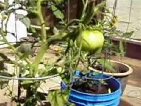 5 Gallon Bucket Vegetable Garden Youtube 5 Gallon Vegetable Garden