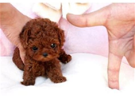 poodle puppies price poodle puppies for sale