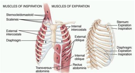 dolore gabbia toracica posteriore pilates ppm torino le 3 sedi lagrange tassoni