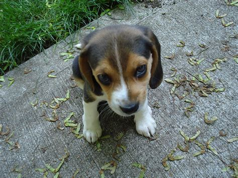 file beagle puppy 6 weeks jpg wikimedia commons