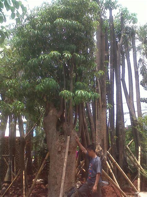 taman bbm garden pratama pohon pulai