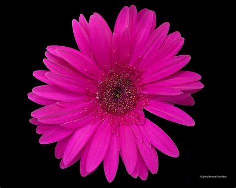 gerber daisies gerber daisy pink photograph by ernest hamilton