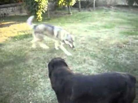 wolf vs rottweiler zeer mooie anatolische herders honden belguim doovi