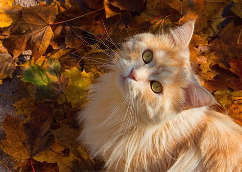 wallpaper cat autumn photo cats autumn ginger color glance animals