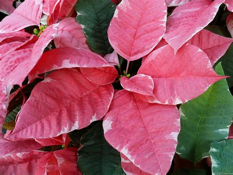 mlewallpapers com silver star marble poinsettias