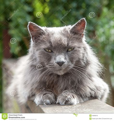 Image Gallery long haired grey cat
