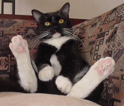 file tuxedo cat vladimir 124 jpg