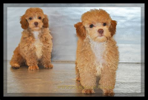 toy poodle haircuts pictures pictures of toy poodle haircuts miniature red poodles