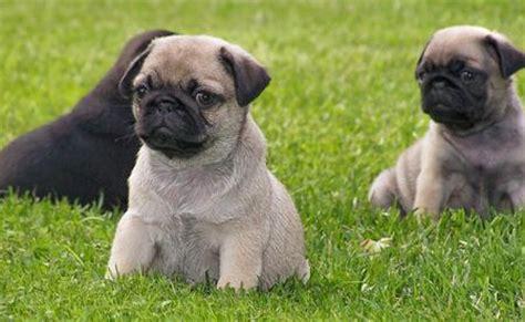romeo the pug romeo the pug puppies daily puppy