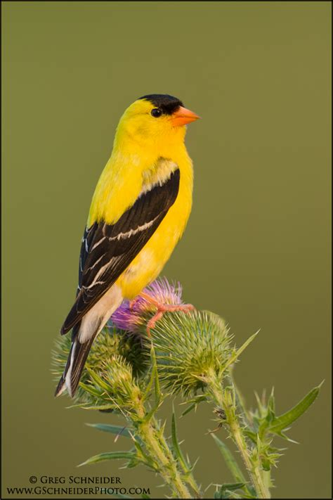 the gallery for gt american goldfinch drawing