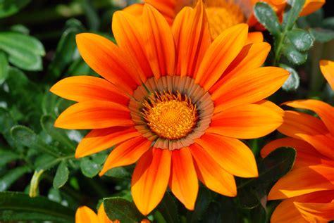 mooie bloemen afbeeldingen grappige afbeeldingen afbeeldingen bloemen oranje bloem