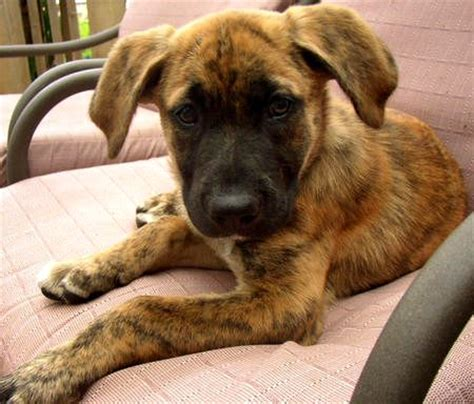 boxer shepherd mix puppy beagle pitbull mix rottweiler puppies breeds picture