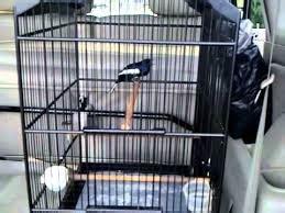 Pakan Walet Alami merawat kacer sebelum masuk kontes situs burung berkicau