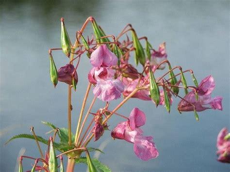 impatiens fiori di bach fiori di bach impatiens rimedi naturali fiori bach
