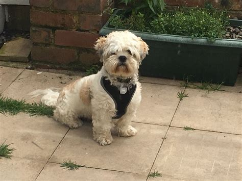 shih tzu puppies for sale in bolton shih tzu puppies bolton greater manchester pets4homes