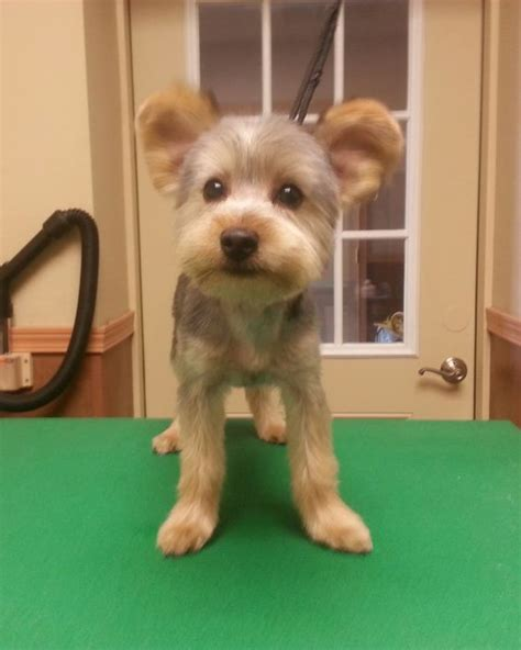 grooming yorkie teddy yorkie teddy trim puppy cut terrier haircut groom grooming by