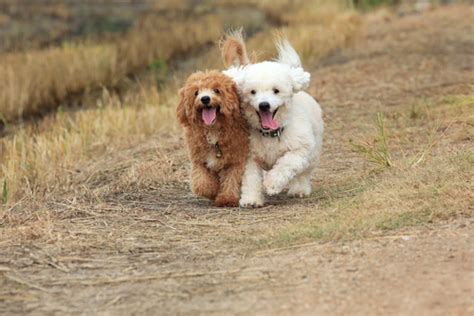 Most Shedding Breeds by 10 Most Popular Hypoallergenic Breeds Iheartdogs