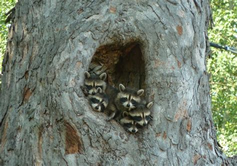 baby marder raccoons in a tree animal picture