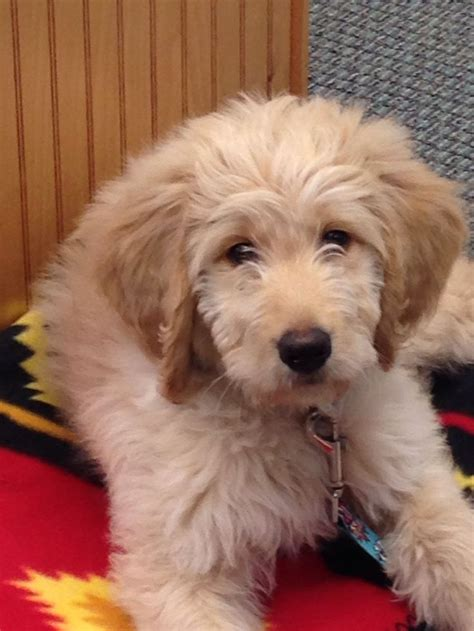 mini goldendoodles south carolina 17 best images about labradoodle on