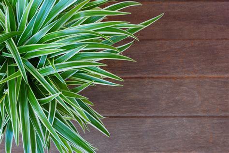 piante da interno resistenti le 15 piante da interno resistenti prima parte fito