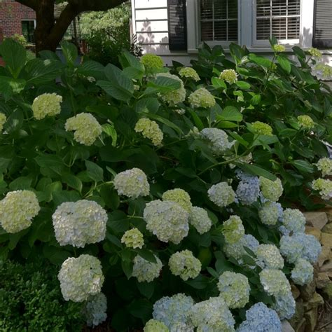 hydrangea front yard 1000 images about hydrangea gardens on