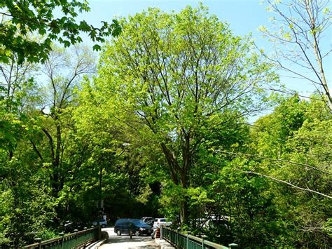 west elm tree toronto wildlife more white elm