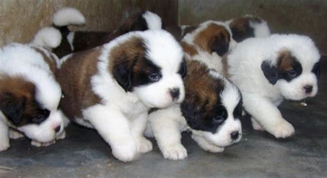 st bernard puppies price st bernard puppies for sale vishal 1 772 dogs for sale price of puppies dogspot in