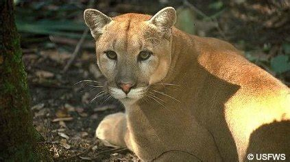 the endangered florida panther and the florida panther